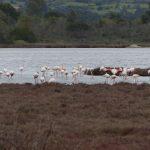 fenicottero rosa 61 150x150 Phoenicopterus ruber   Fenicottero rosa
