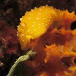 fillidia gialla 29 150x150 Phillydia flava   Fillidia gialla
