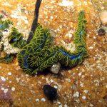 fillodoce 13 150x150 Nereiphylla paretti   Fillodoce