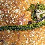 fillodoce 14 150x150 Nereiphylla paretti   Fillodoce