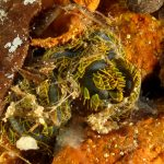 fillodoce 31 150x150 Nereiphylla paretti   Fillodoce