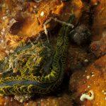 fillodoce 34 150x150 Nereiphylla paretti   Fillodoce