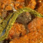 fillodoce 35 150x150 Nereiphylla paretti   Fillodoce