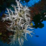 filograna di mare 18 150x150 Filograna implexa, salmacina incrustans   Salmacina