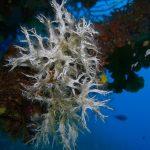 filograna di mare 24 150x150 Filograna implexa, salmacina incrustans   Salmacina