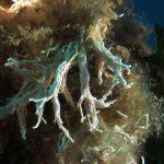 filograna di mare 39 150x150 Filograna implexa, salmacina incrustans   Salmacina