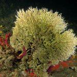 filograna di mare 41 150x150 Filograna implexa, salmacina incrustans   Salmacina