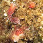 flabellina lineata 06 150x150 Flabellina lineata, Coryphella lineata   Flabellina lineata