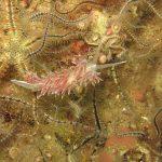 flabellina lineata 12 150x150 Flabellina lineata, Coryphella lineata   Flabellina lineata
