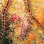 flabellina lineata 13 150x150 Flabellina lineata, Coryphella lineata   Flabellina lineata