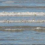 fratino 05 150x150 Uccello fratino