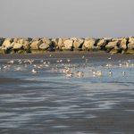 gabbiano comune 14 150x150 Larus ridibundus, Gabbiano comune