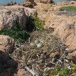 gabbiano reale nidi 06 150x150 Gabbiano reale, deposizione uova