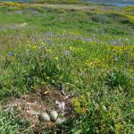 gabbiano reale nidi 08 150x150 Gabbiano reale, deposizione uova
