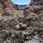 gabbiano reale nidi 17 150x150 Gabbiano reale, deposizione uova