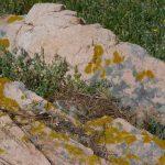 gabbiano reale nidi 21 150x150 Gabbiano reale, deposizione uova
