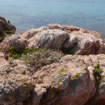 gabbiano reale nidi 30 150x150 Gabbiano reale, deposizione uova