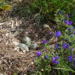 gabbiano reale nidi 37 150x150 Gabbiano reale, deposizione uova