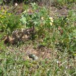 gabbiano reale nidi 40 150x150 Gabbiano reale, deposizione uova