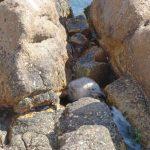 gabbiano reale pulcini 09 150x150 Gabbiano reale, adattamento pulcini