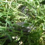 gabbiano reale pulcini 38 150x150 Gabbiano reale, adattamento pulcini