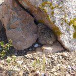 gabbiano reale pulcini 46 150x150 Gabbiano reale, adattamento pulcini