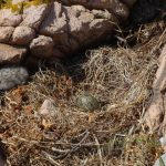 gabbiano reale pulcini 47 150x150 Gabbiano reale, adattamento pulcini
