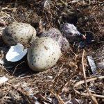 gabbiano reale schiusanidi 10 150x150 Gabbiano reale, schiusa nidi
