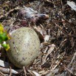 gabbiano reale schiusanidi 12 150x150 Gabbiano reale, schiusa nidi