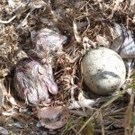 gabbiano reale schiusanidi 17 150x150 Gabbiano reale, schiusa nidi