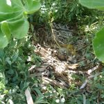 gabbiano reale schiusanidi 18 150x150 Gabbiano reale, schiusa nidi