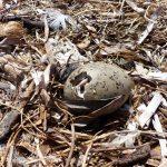 gabbiano reale schiusanidi 21 150x150 Gabbiano reale, schiusa nidi