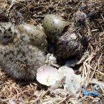 gabbiano reale schiusanidi 31 150x150 Gabbiano reale, schiusa nidi