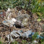 gabbiano reale schiusanidi 32 150x150 Gabbiano reale, schiusa nidi