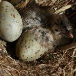 gabbiano reale schiusanidi 33 150x150 Gabbiano reale, schiusa nidi