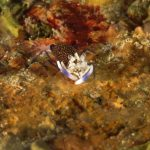 gambero vinaio 42 150x150 Gnathophyllum elegans   Gamberetto vinaio
