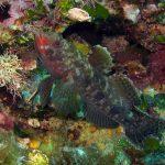 ghiozzo boccarossa 19 150x150 Gobius cruentatus   Ghiozzo boccarossa