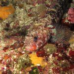 ghiozzo boccarossa 20 150x150 Gobius cruentatus   Ghiozzo boccarossa