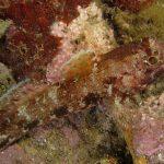 ghiozzo boccarossa 25 150x150 Gobius cruentatus   Ghiozzo boccarossa