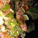 ghiozzo boccarossa 29 150x150 Gobius cruentatus   Ghiozzo boccarossa