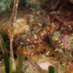 ghiozzo boccarossa 52 150x150 Gobius cruentatus   Ghiozzo boccarossa