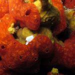 gibberula 06 150x150 Gibberula miliaria   Gibberula
