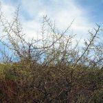 ginestra villosa 12 150x150 Ginestra villosa