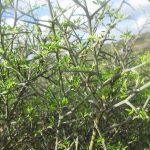 ginestra villosa 14 150x150 Ginestra villosa