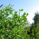ginestra villosa 18 150x150 Ginestra villosa