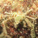 granchio ragno 27 150x150 Inachus phalangium, Granchio ragno di mare