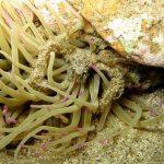 granchio ragno 29 150x150 Inachus phalangium, Granchio ragno di mare