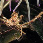 granchio ragno 36 150x150 Inachus phalangium, Granchio ragno di mare