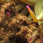 granchio ragno 38 150x150 Inachus phalangium, Granchio ragno di mare