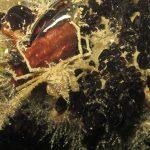 granchio ragno 42 150x150 Inachus phalangium, Granchio ragno di mare